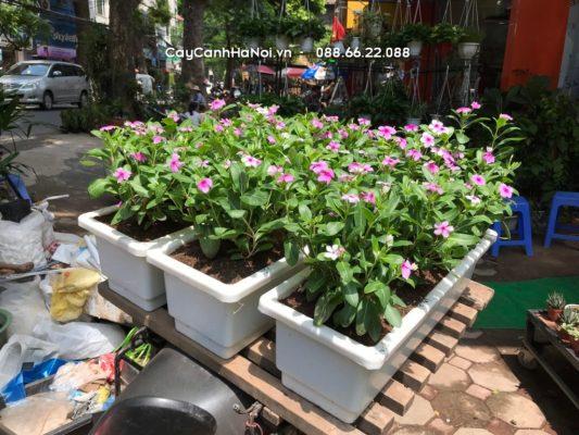 Hoa ban công dừa cạn với màu tím nhẹ nhàng, mong manh