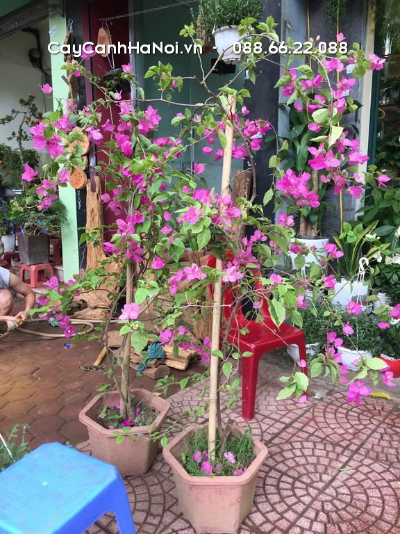 Loại hoa ban công hoa giấy mang đến nét đẹp bình dị, mộc mạc