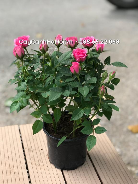 Những chậu hoa ban công từ loại hoa hồng sẽ cho hương thơm ngào ngạt cả ngày