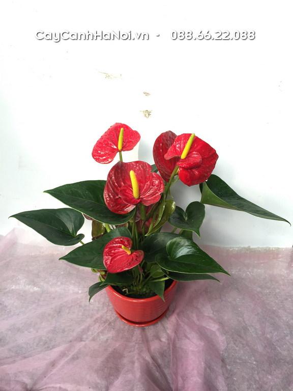Màu đỏ của cây quà tặng khai trương hồng môn mang lại sự may mắn