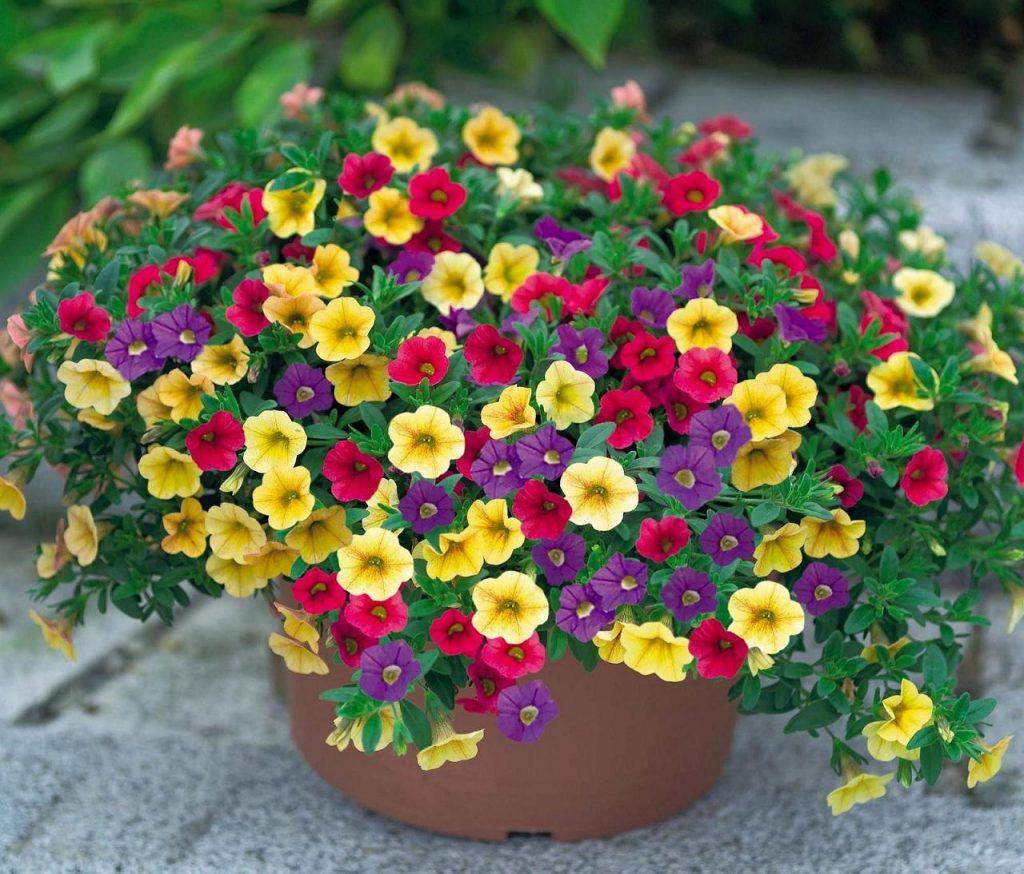 Nhiều sắc màu hoa mười giờ kết hợp thành một loại cây giỏ treo độc đáo