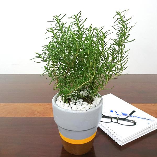 Nhiều người yêu thích việc để một chậu hương thảo ở bàn làm việc