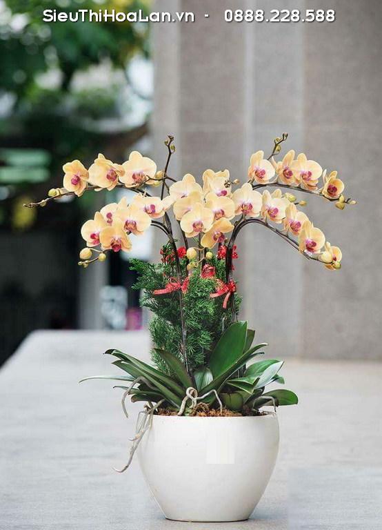 Hoa lan hồ điệp là loại hoa lâu tàn nhưng lại dễ đơm bông