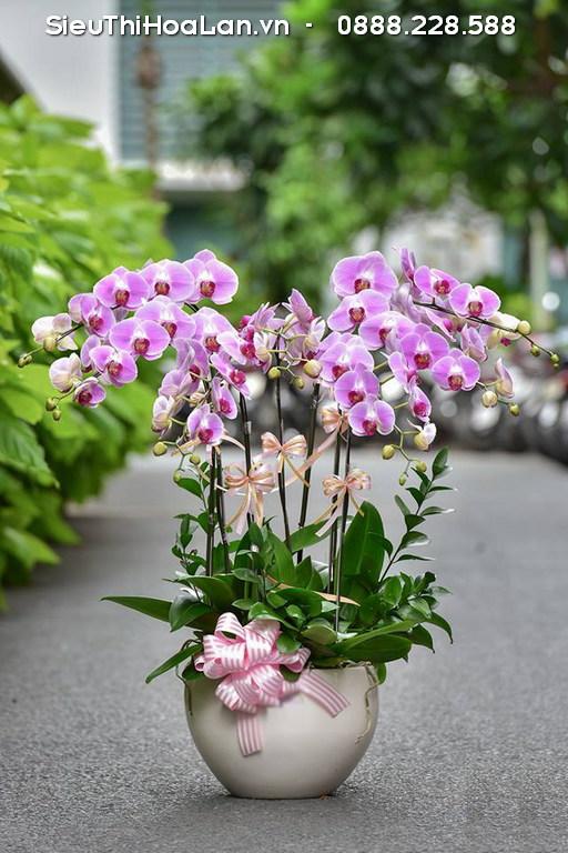 Hoa lan hồ điệp tím là biểu tượng của tình yêu và sự chờ mong